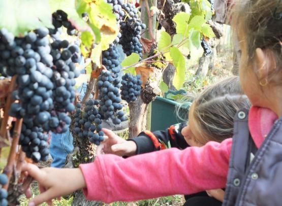 vendanges - Musée de la vigne et du vin d'Anjou
